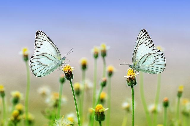 motýli na květu